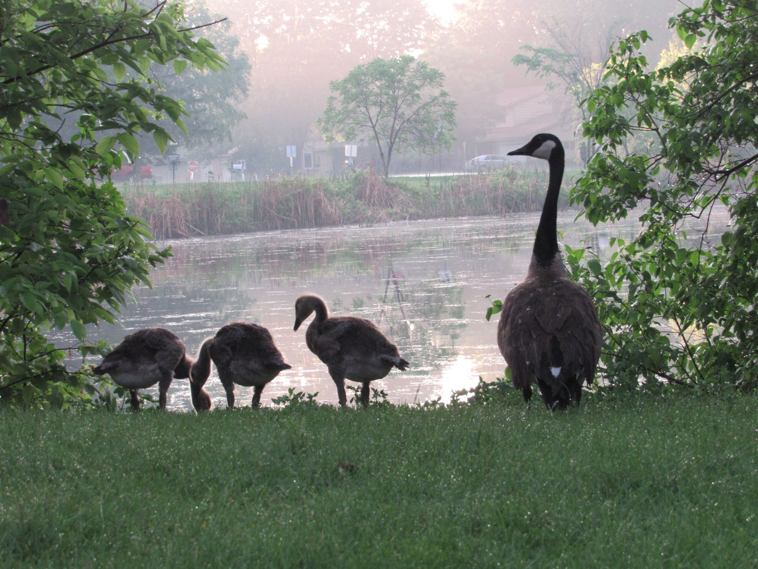 AlexandraKaja_Goslings_at_Sunset_Lions_Park